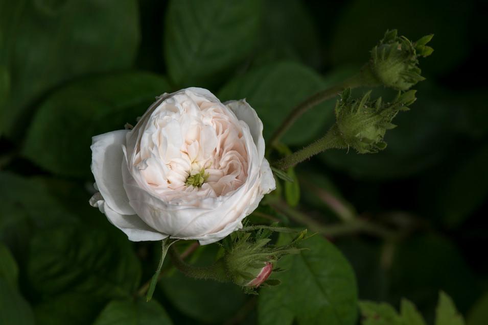 Rosa damascena 'Mme Hardy'