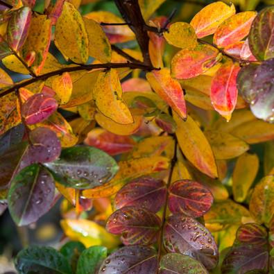 Lagerstroemia im Herbstkleid