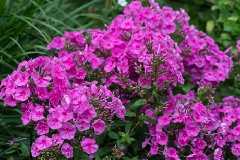 Phlox amplifolia 'Winnetou'