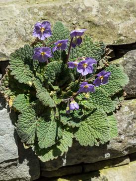 Liebt es steinig: Der Pyrenäen-Felsenteller