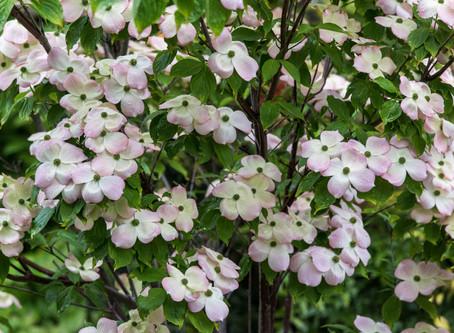 Blumenhartriegel, made in USA