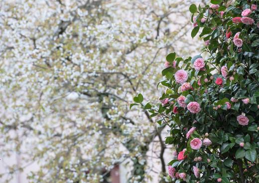 Camellia 'Lavinia Maggi' mit Kirschblüte