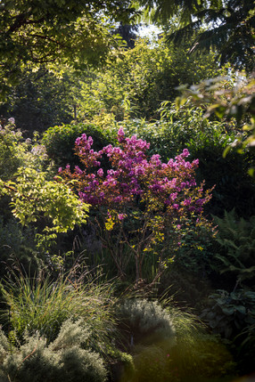 Lagerstroemia 'Terre Chinoise'