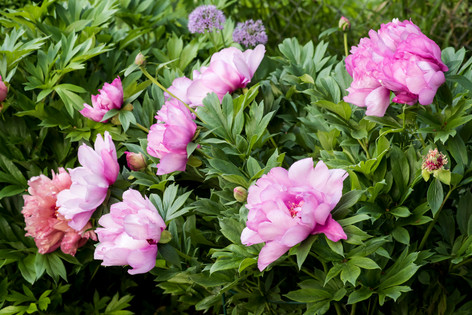 Paeonia 'First Arrival' und 'Hillary'