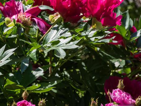 Pfingst- und andere Rosen