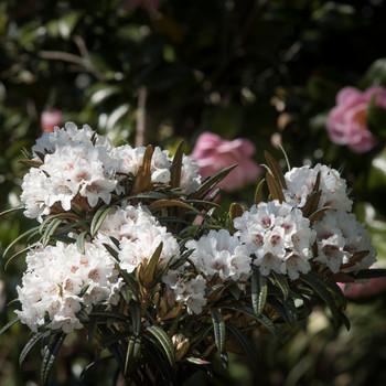 Rhododendron roxieanum 'Needle Dane'