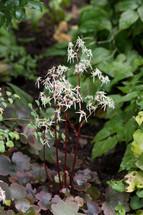 Saxifraga cortusifolia var. fortunei 'Rubrifolia'