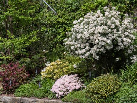 Frühlingsgruss aus dem Rhodobeet