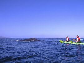 Makena Kayak and Group Whale Watch Tour (seasonal)