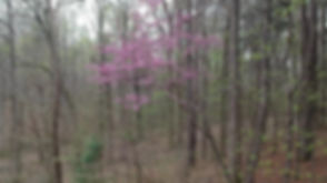 homesite early spring redbud 4.jpg
