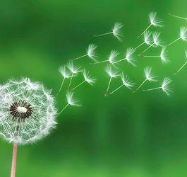 5616371-dandelion-pictures 2.jpg