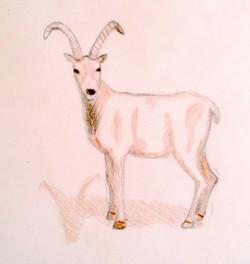 Matties-Goat.jpg