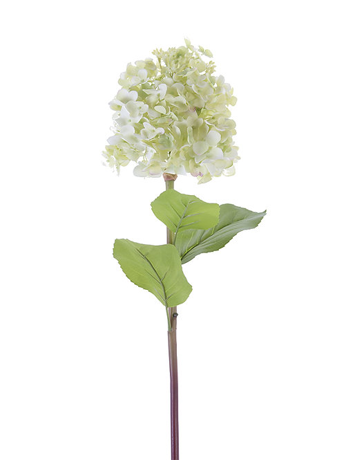 Cone Hydrangea