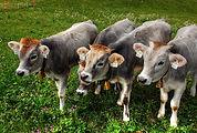 calves-2334305_960_720.jpg