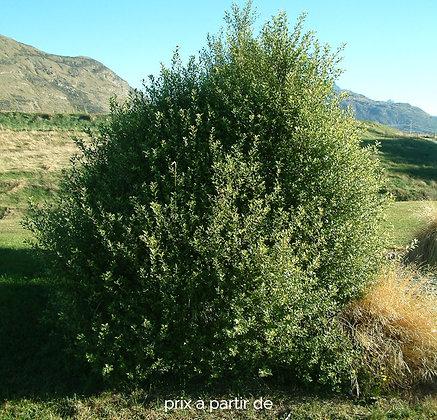 Pittos tenuifolium