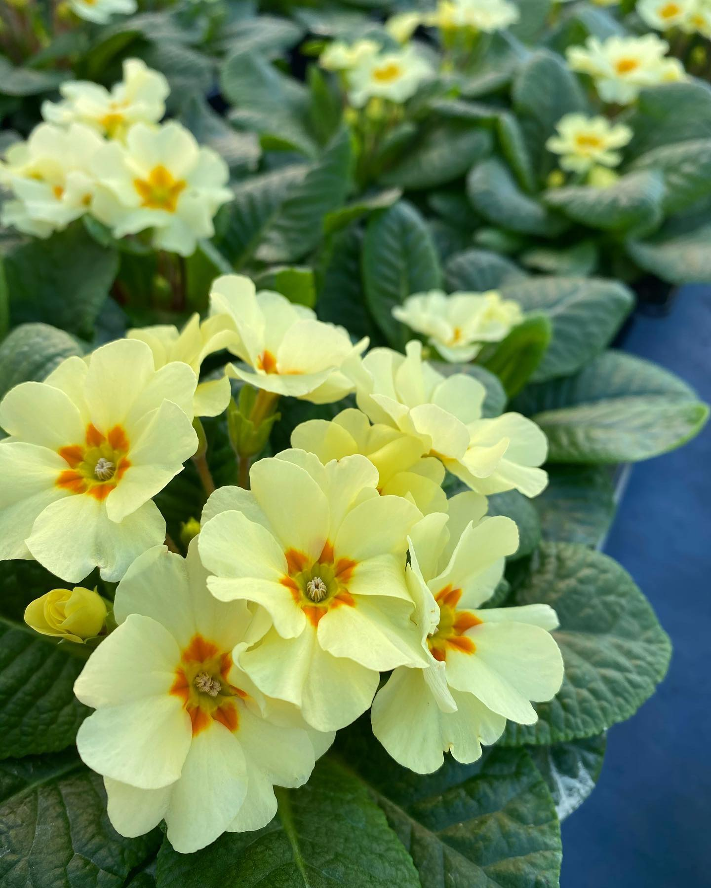 Yellow Primroses - Early Flowering
