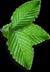 Racimo de hojas