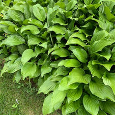 5 Hostas, planted by 24 Chores for you