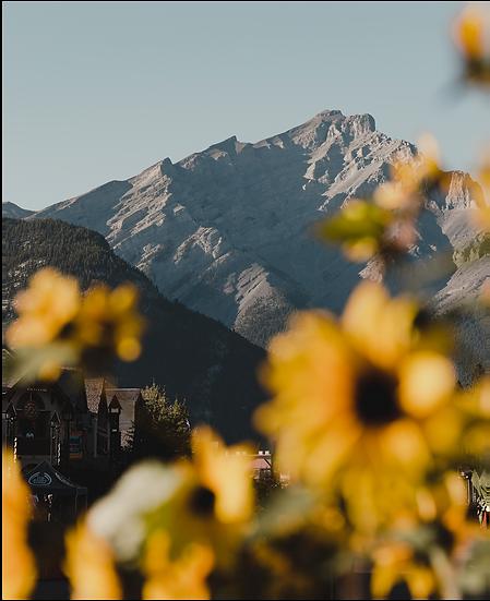 Sunflowers on Banff Avenue