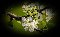 plum-blossoms-3340550_1920_edited_edited