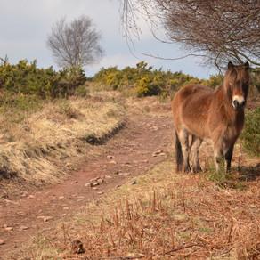 Meeting Exmoor's Ponies in Exmoor National Park