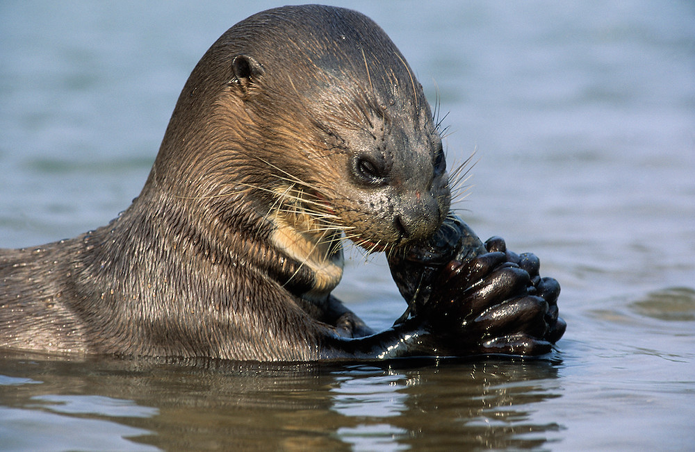 Giant River Otter knawing