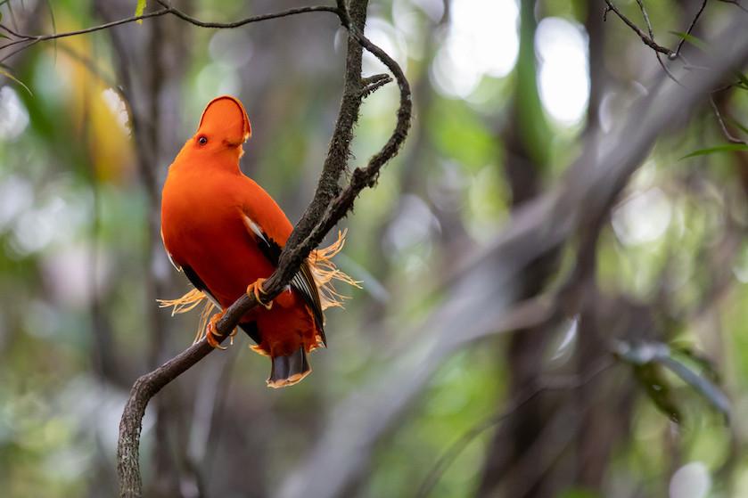 Cock of the Rock bird