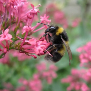 Identifying bumblebees on a wildlife walk in the Kent Downs