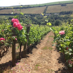 A tour of the Camel Valley Vineyard, Bodmin, Cornwall