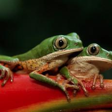 Monkey Frog_NorthRupununi_FotoNatura.jpg