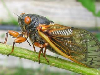 Toronto Cicada Encounter