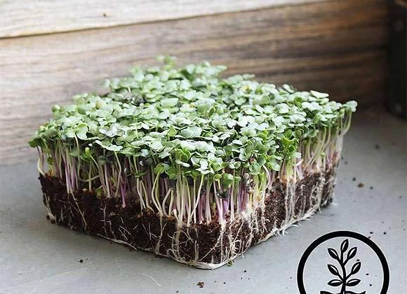 Microgreens - Spicy Salad Mix
