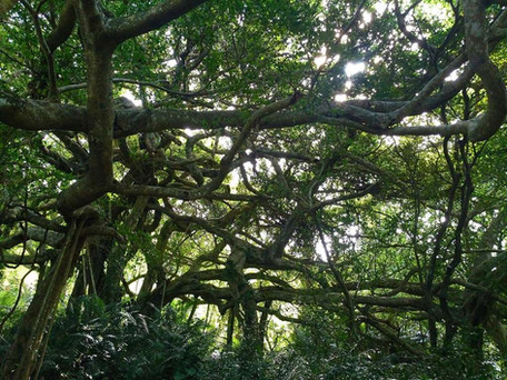 會走路的樹.jpg