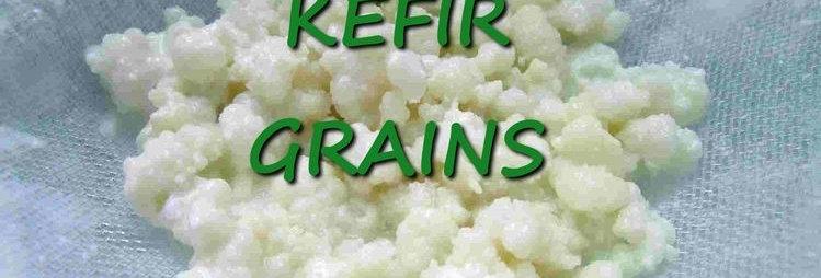 Milk Kefir Starter Grains