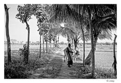 Au milieu des rizières