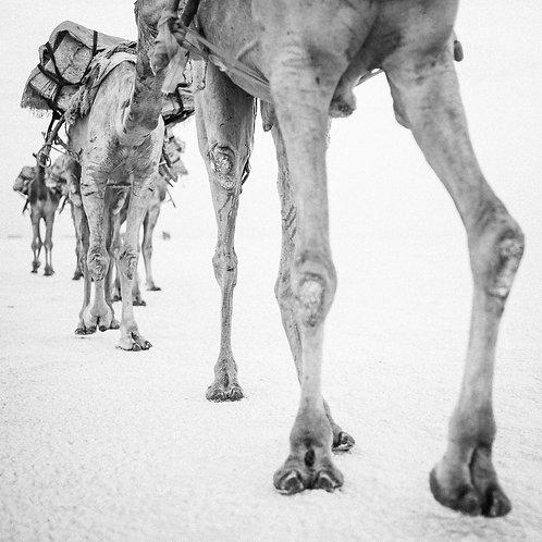 Camel 3 (Ethiopia)
