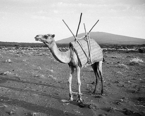 Camel 1 (Ethiopia)