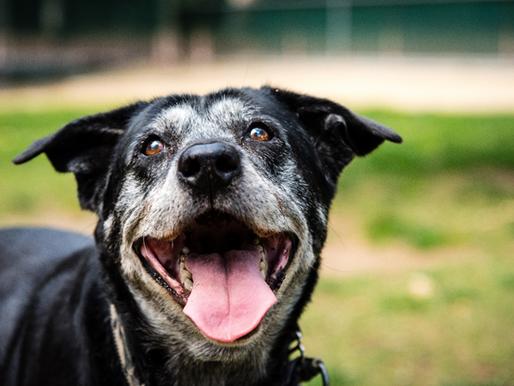 Reasons You Should Adopt a Senior Dog