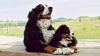 Berner Sennenhunde vom Wisgraben. Zucht