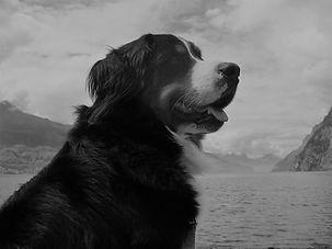 Berner Sennenhunde vom Wisgraben. Welpen