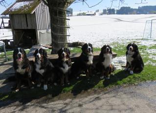 P-Wurf Treffen vom 29. April 2017. Die Hunde sind ein Jahr alt!