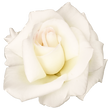 Download-White-Rose-PNG-Transparent-Imag