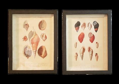 Shell Illustration Prints - Pair