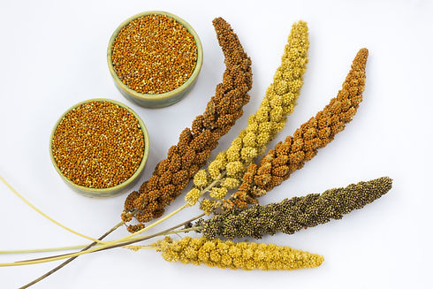 Yellow, green and red ears of millet. Gr