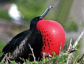 Frigate Birds Barbuda
