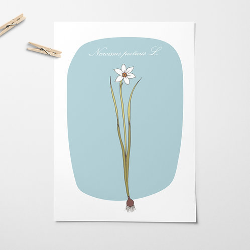 Narcissus poeticus small print