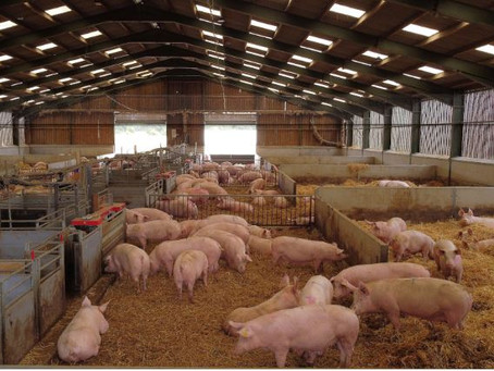 Desperate British pig farmers tell Johnson: Ease immigration rules