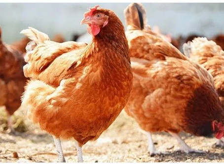 Ethiopian farmers slaughter thousands of chicks as COVID hits demand