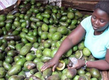 Kenya makes 'record sales from avocado exports'