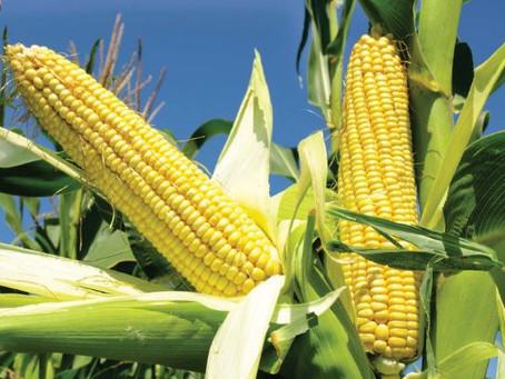 Tough Terms As Kenya Lifts Tanzania, Uganda Maize Imports Ban